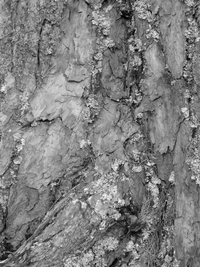 Bark from a Scots pine in the old caledonian forest